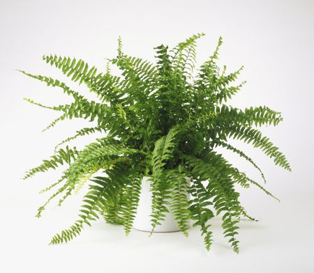 nephrolepis exaltata bostoniensis boston fern growing in pot 81992640 5a9873a5fa6bcc003775071f
